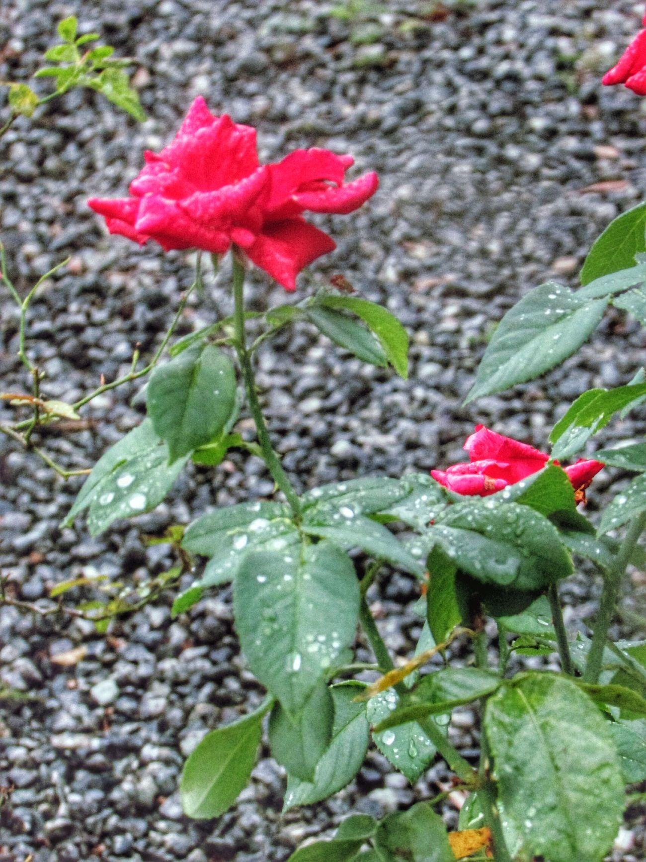 Flower Flores Flowers Flores Brazil Rosa Rosas Rosas🌹🌹 Roses Roses🌹 Floresrosa 🌷 Flowers 🌹 🌷 Flowers 🌹 Roses🌹 Red ⚘ 🌹 Rose Millennial Pink Millennial Pink