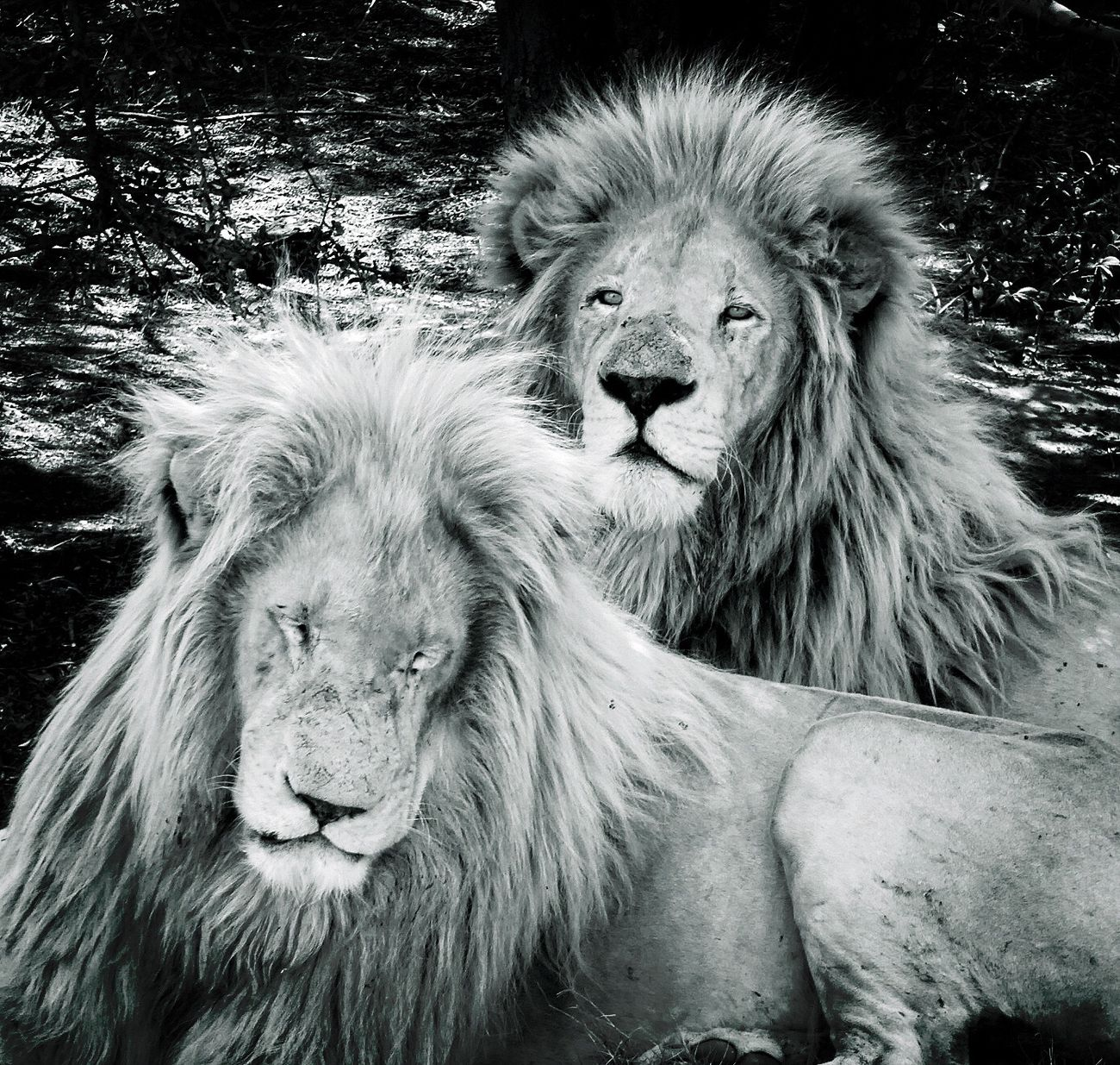 Lions Kingofthejungle King Of The Jungle Beast Animal_collection Animal Photography Wildlife & Nature EyeEm Best Shots - Black + White Portrait Black And White Light And Shadow Shades Of Grey Nature_collection EyeEm Nature Lover Nature