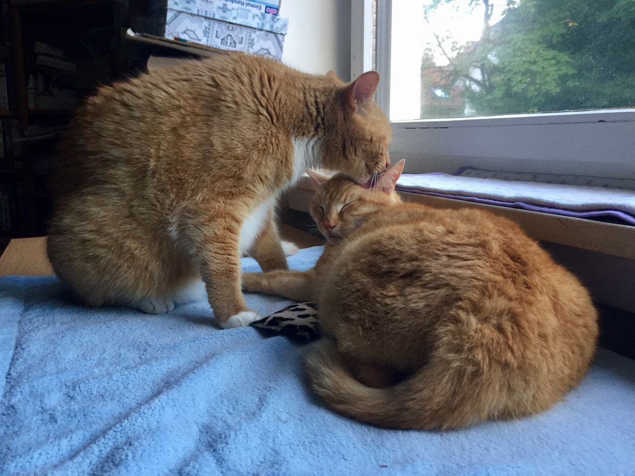 domestic cat, pets, animal themes, domestic animals, mammal, indoors, one animal, feline, cat, no people, relaxation, ginger cat, day, lying down, close-up