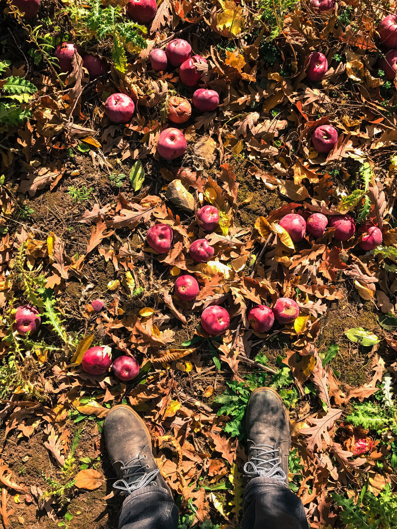 Apple picking in the Catskills, New York, USA. Photo by Tom Bland. Agriculture Apple Picking Apples Autumn Autumnal Boot Fall Feet Fruit IPhone IPhoneography Looking Down Male Man New York Orchard Orchards Outdoors Rural Seasonal Seasonal Fruit Selfie Standing