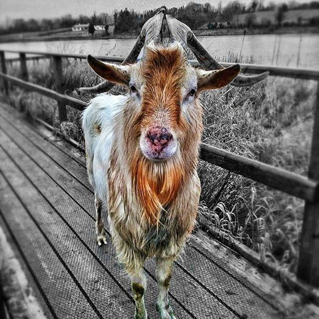 The goat @ Killyfole Goat Goats Colour Splash Black And White And Color Here Belongs To Me Up Close Street Photography The Great Outdoors With Adobe
