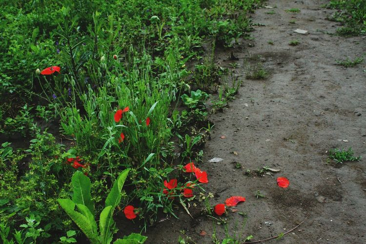 Nature_perfection Nature_collection Nature Photography Field Flowers маки Poppies  Poppy Poppy Flowers Poppies In Bloom Green Color Green Grassy Grass Grass And Flowers Soil Soil On The Ground Petals Petals In Red Petals On The Ground Soil And Grass