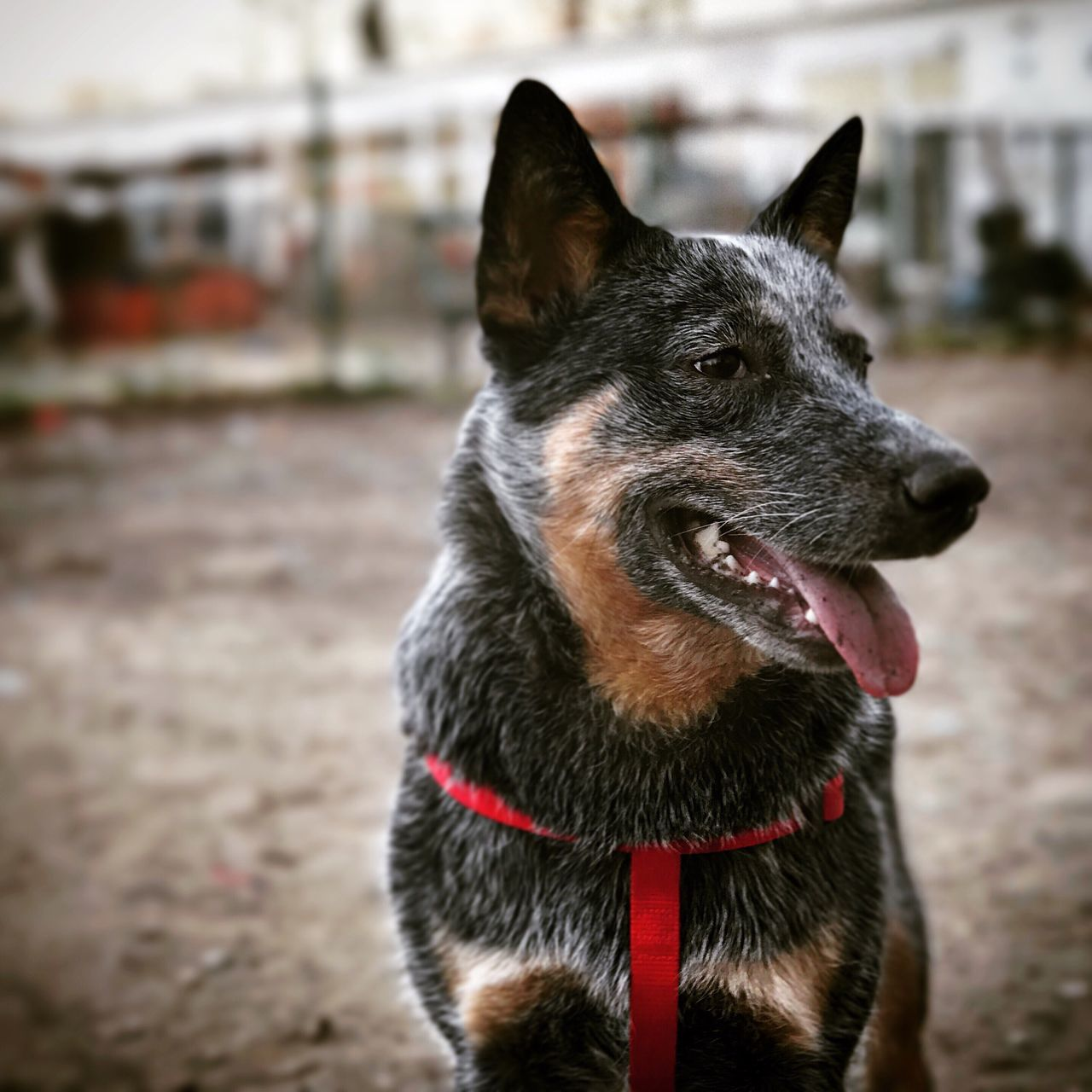 Standing still for a second Domestic Animals One Animal Pets Animal Themes Dog Mammal Focus On Foreground No People Close-up Day Outdoors Blue Dog ACD  Blue Heeler Australian Cattle Dog Cattledog