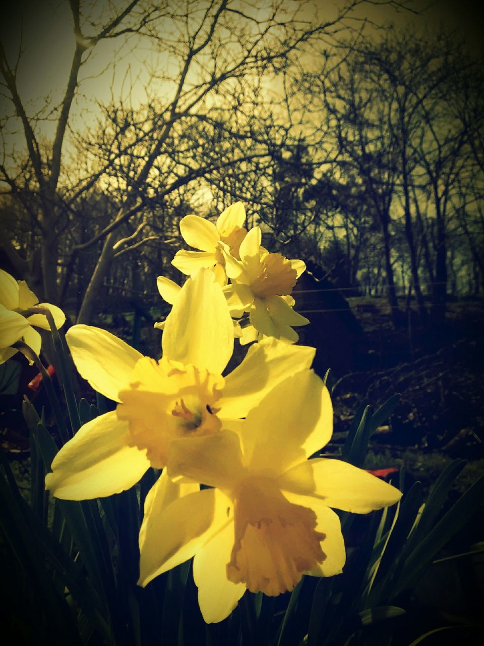 flower, yellow, petal, fragility, beauty in nature, nature, growth, flower head, freshness, daffodil, blossom, springtime, no people, plant, outdoors, day, blooming, close-up, tree, crocus