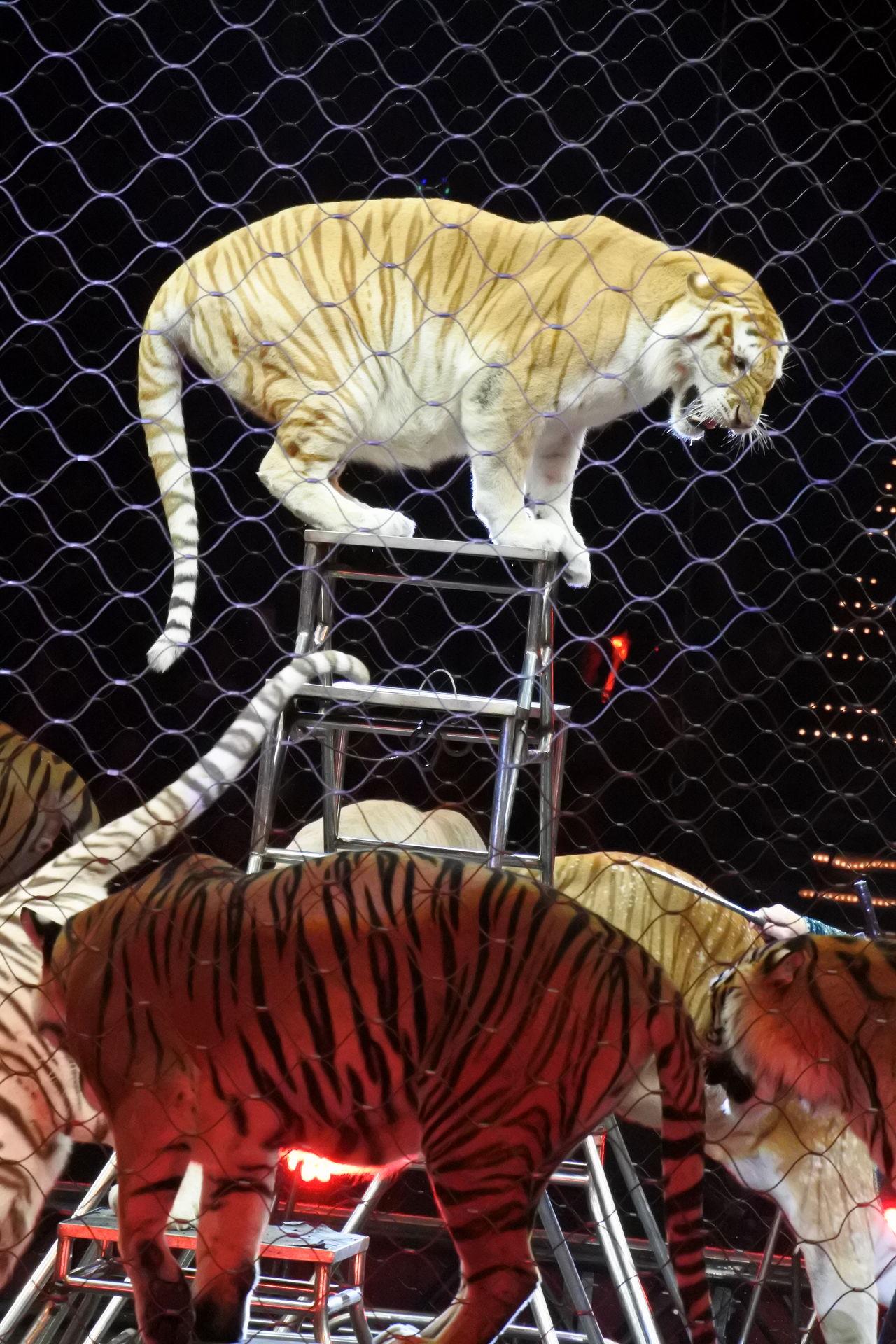 Circus Tiger Animals Posing Show Ringling Bros Blue Illuminated
