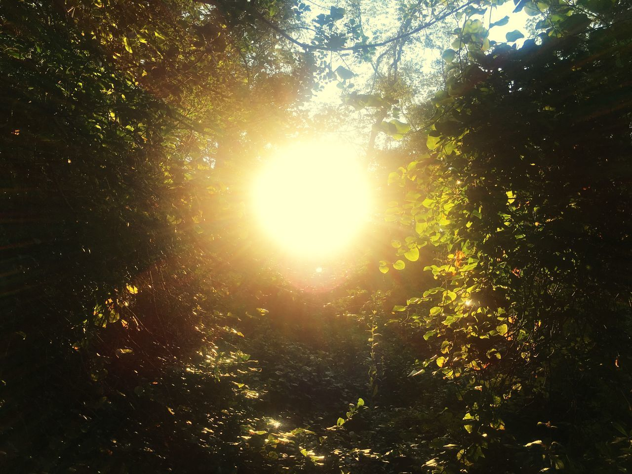 sun, tree, nature, beauty in nature, sunbeam, forest, sunlight, lens flare, growth, scenics, outdoors, tranquil scene, no people, low angle view, tranquility, branch, day, sky