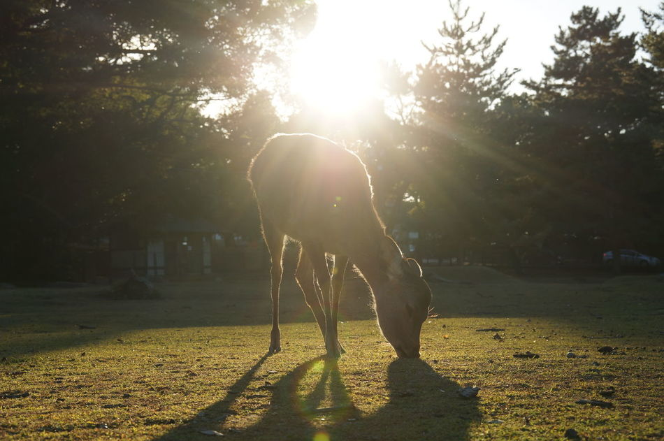 Beautiful stock photos of hirsch, tree, full length, sunlight, shadow