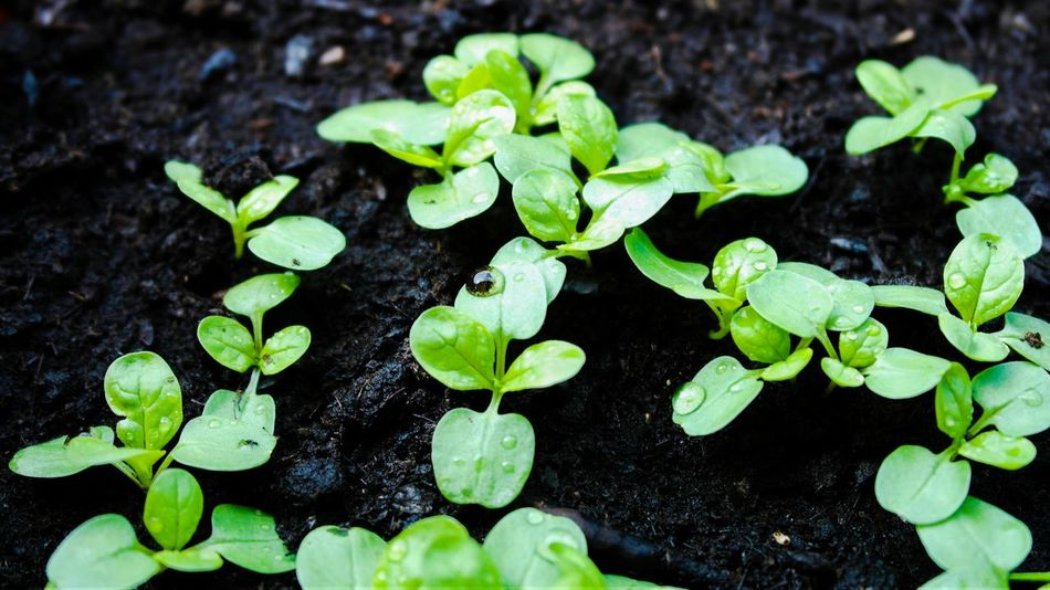 Green Leaves Water Drops Vegetarian Food Salat Vegan Beautiful Nature Feldsalat Vegetarian