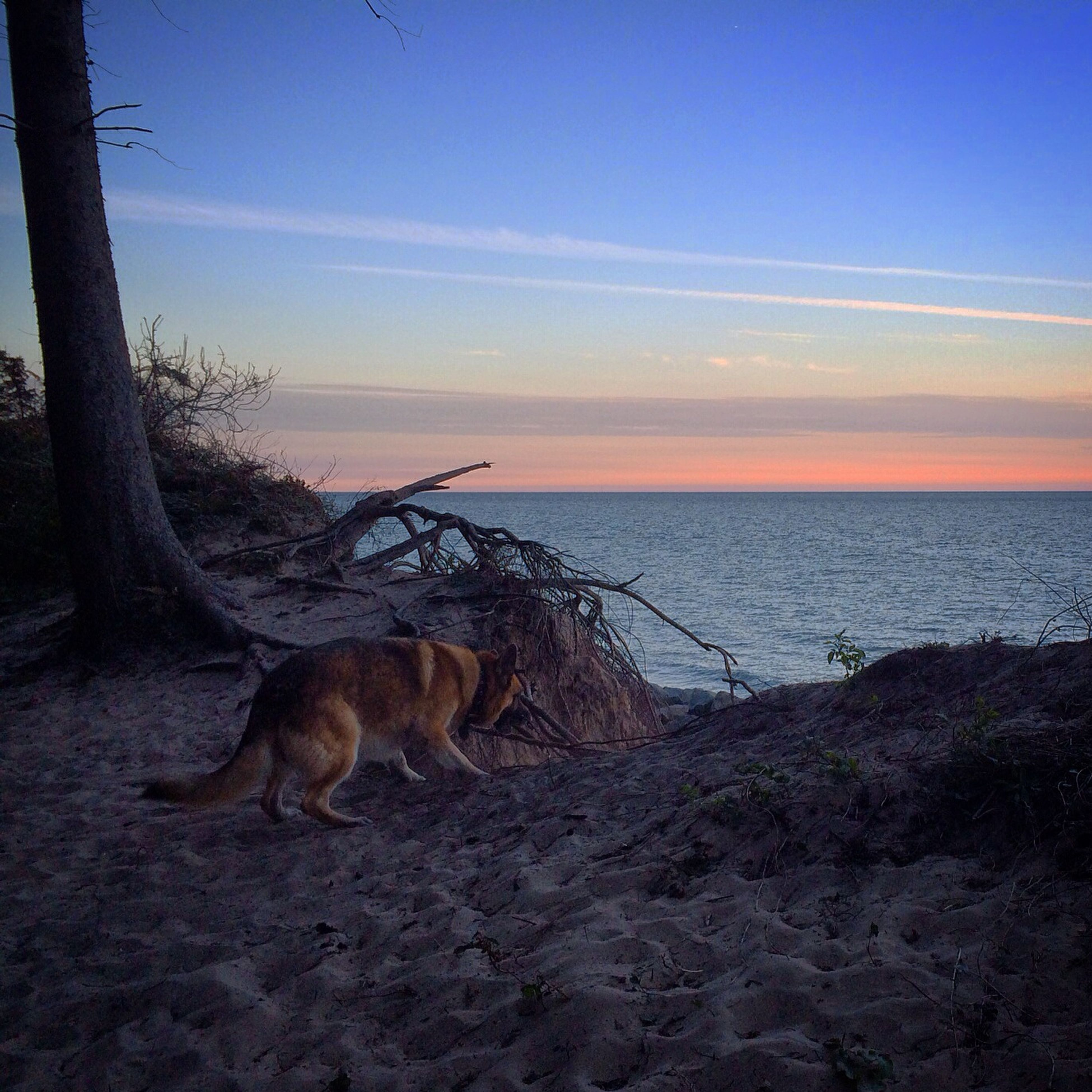 one animal, animal themes, sea, pets, domestic animals, horizon over water, mammal, beach, dog, water, sky, shore, tranquil scene, sand, tranquility, scenics, sunset, nature, beauty in nature, sunlight