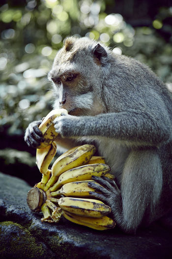 Monkey Forest - Ubud, Bali, Indonesia. Bali Bali, Indonesia Banana Monkeys Ubud, Bali Animal Animal Photography Animal Themes Animal Wildlife Animals Animals In The Wild Balinese Culture Baliphotography Banana Peel Bananas Monkey Monkey Forest Monkey Forest Ubud Monkey Forest Bali No People One Animal Ubud Ubud Bali Ubud Nature Ubud Temple