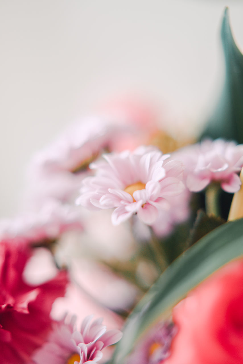 flower, petal, pink color, beauty in nature, nature, freshness, flower head, fragility, close-up, no people, indoors, day
