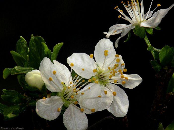 I fiori, la musica, i bambini e anche gli animali, sono i gioielli della vita! Flowers Black And White Photography First Eyeem Photo Fiori Delle Susinein Catania, Sicily