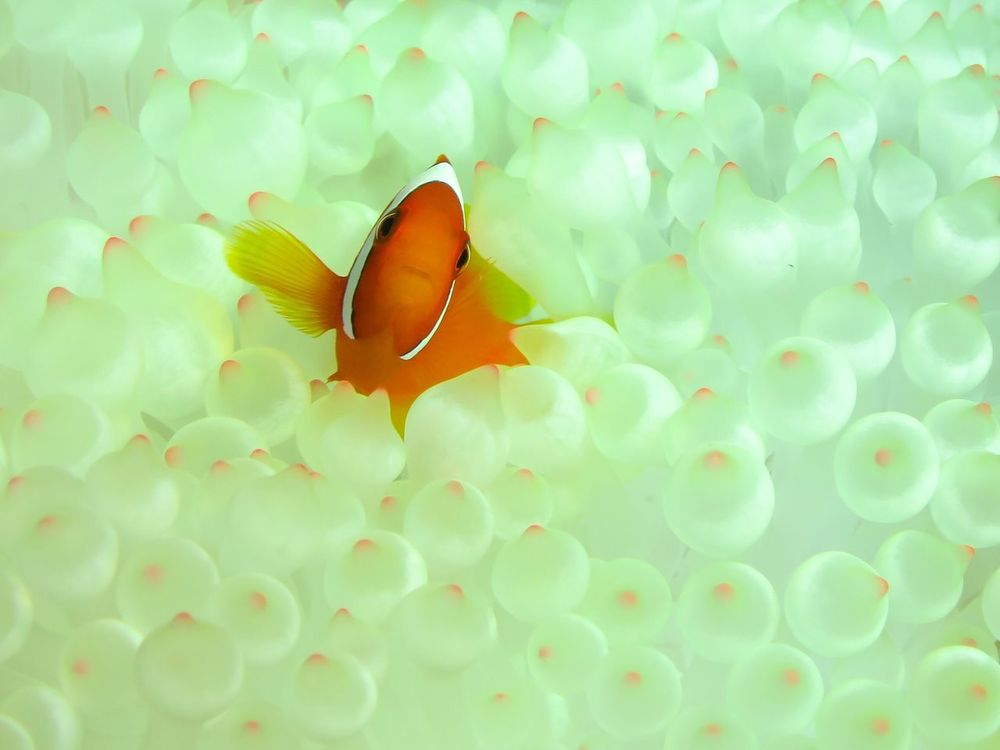 Anemone Fish Sea Anemones Underwater Underwater Photography Underwater World Diving Scuba Diving Nature Nature_collection EyeEm Nature Lover Beauty In Nature Taking Photos Eye4photography  From My Point Of View Iriomote Island Okinawa