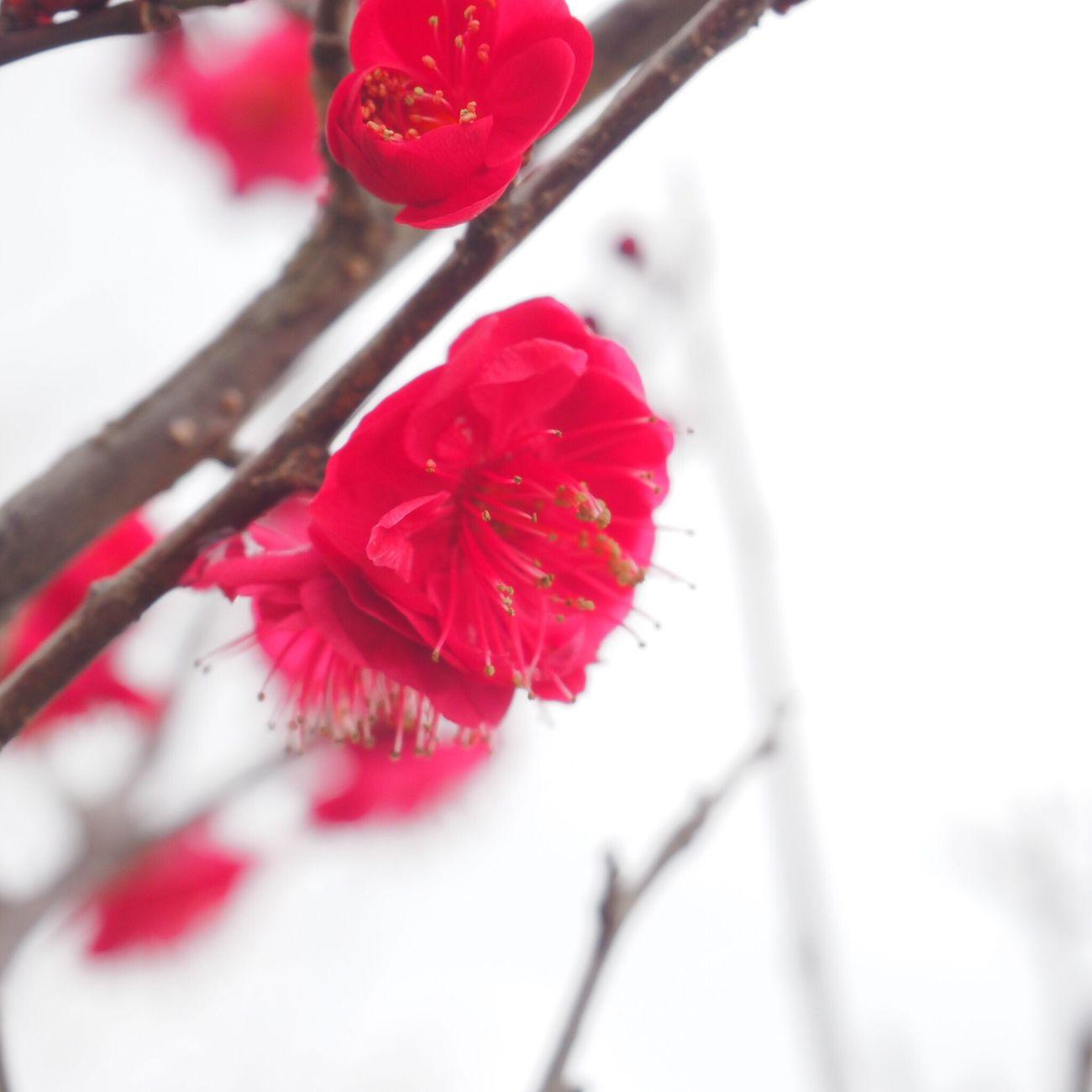 鹿児島紅 という品種の梅 濃い赤だった Pulm Flower Red Flower