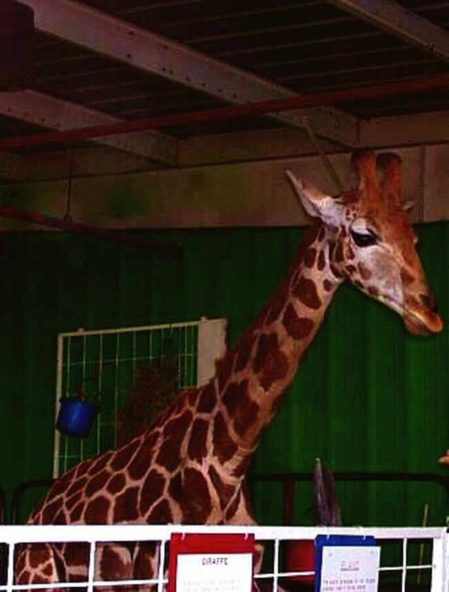 Arizona State Fair AZ State Fairgrounds Phoenix, AZ Animals Giraffe Zoo Daytime Fall Time Mammals Living Things