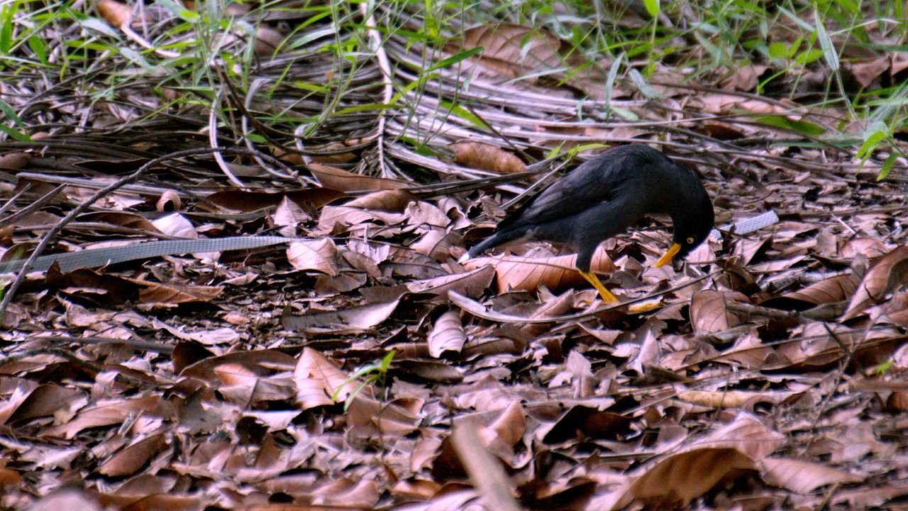 Close-Up Of Myna Perching On Dry Leaves