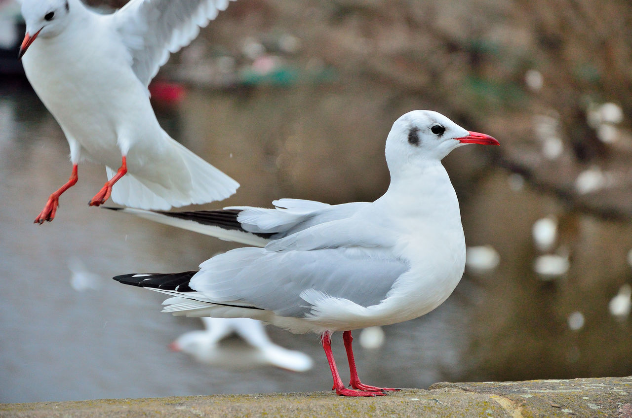 bird, animal themes, animals in the wild, white color, animal wildlife, black-headed gull, day, seagull, focus on foreground, no people, nature, outdoors, close-up, perching, spread wings, beauty in nature