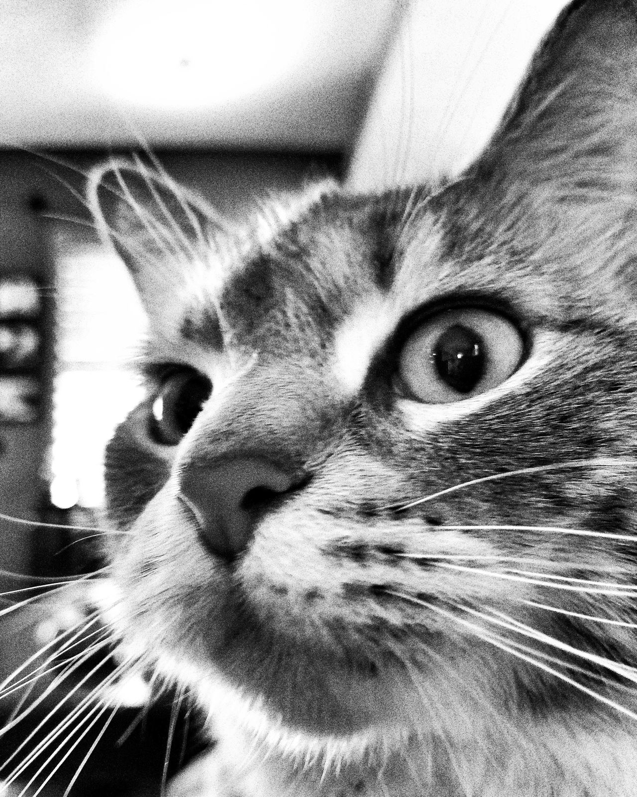 Cat Animal Themes One Animal Mammal Pets Close-up Looking At Camera Domestic Cat Domestic Animals Portrait No People Indoors  Feline Animal Eye Day Blackandwhite Black And White Bw Bw_collection