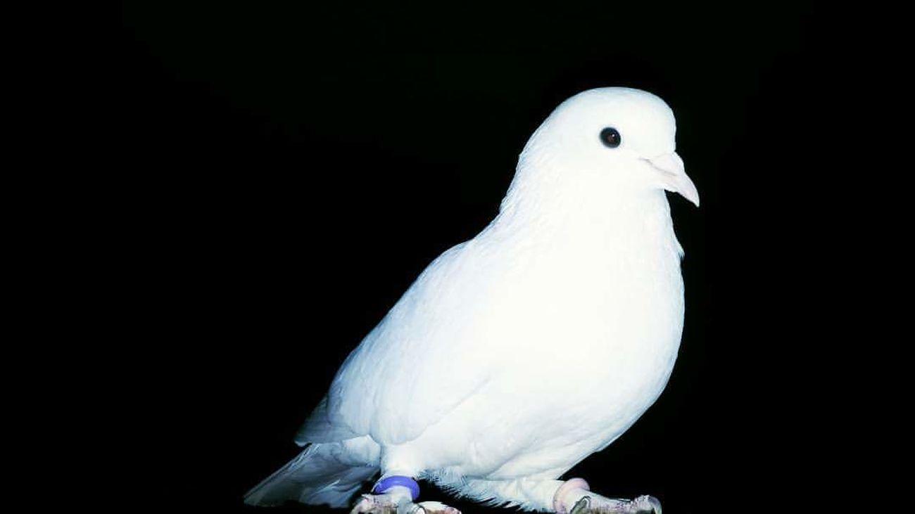 Pigeon Pigeons Pigeonslife Guvercinler Guvercin Bird Birds Of EyeEm  Birds Peace White Beyaz Barış Freedom. Tumble Farm Pigeon Farm
