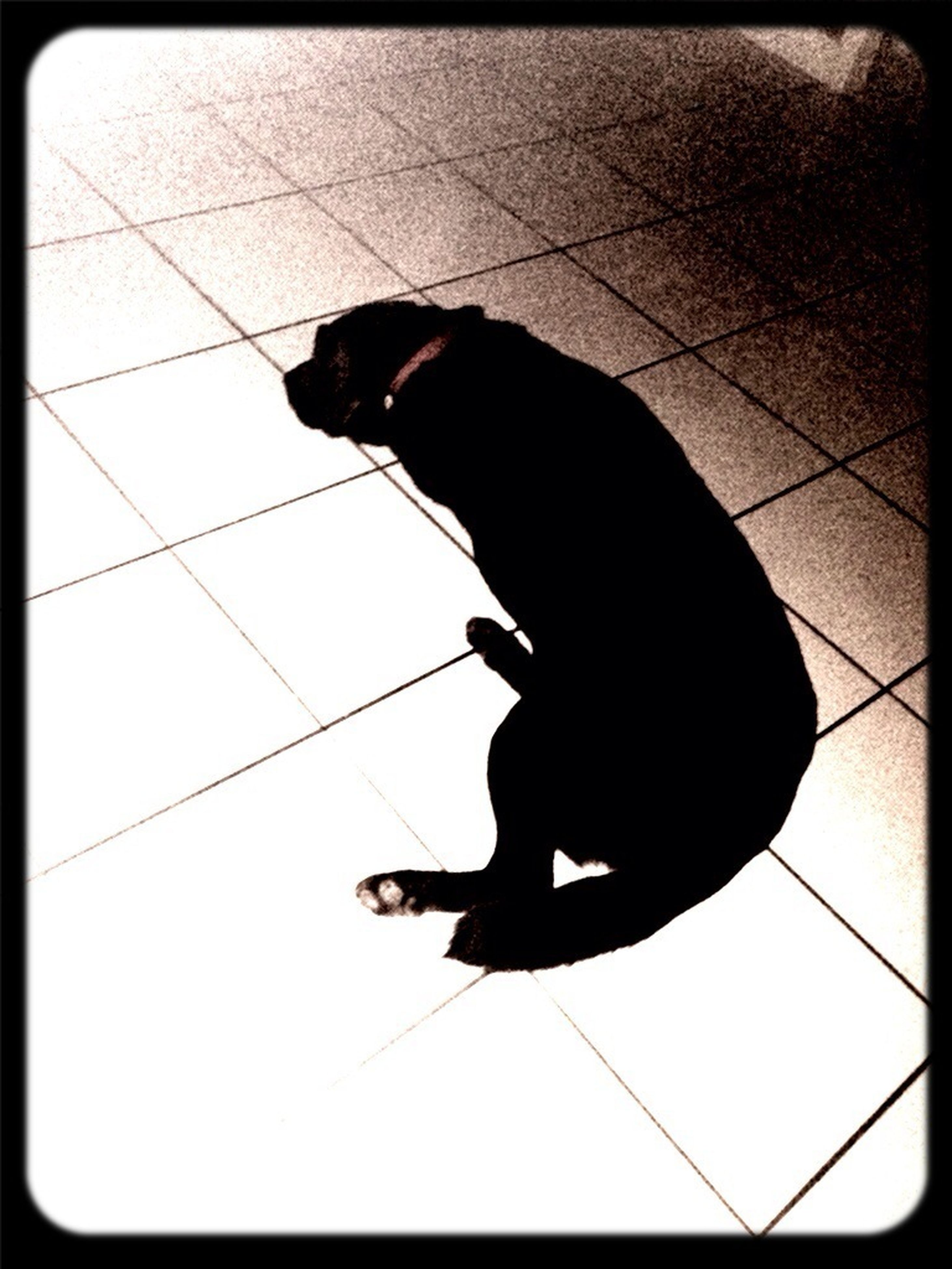transfer print, auto post production filter, high angle view, one animal, pets, full length, black color, indoors, shadow, domestic animals, lifestyles, silhouette, tiled floor, men, sunlight, animal themes, leisure activity, black