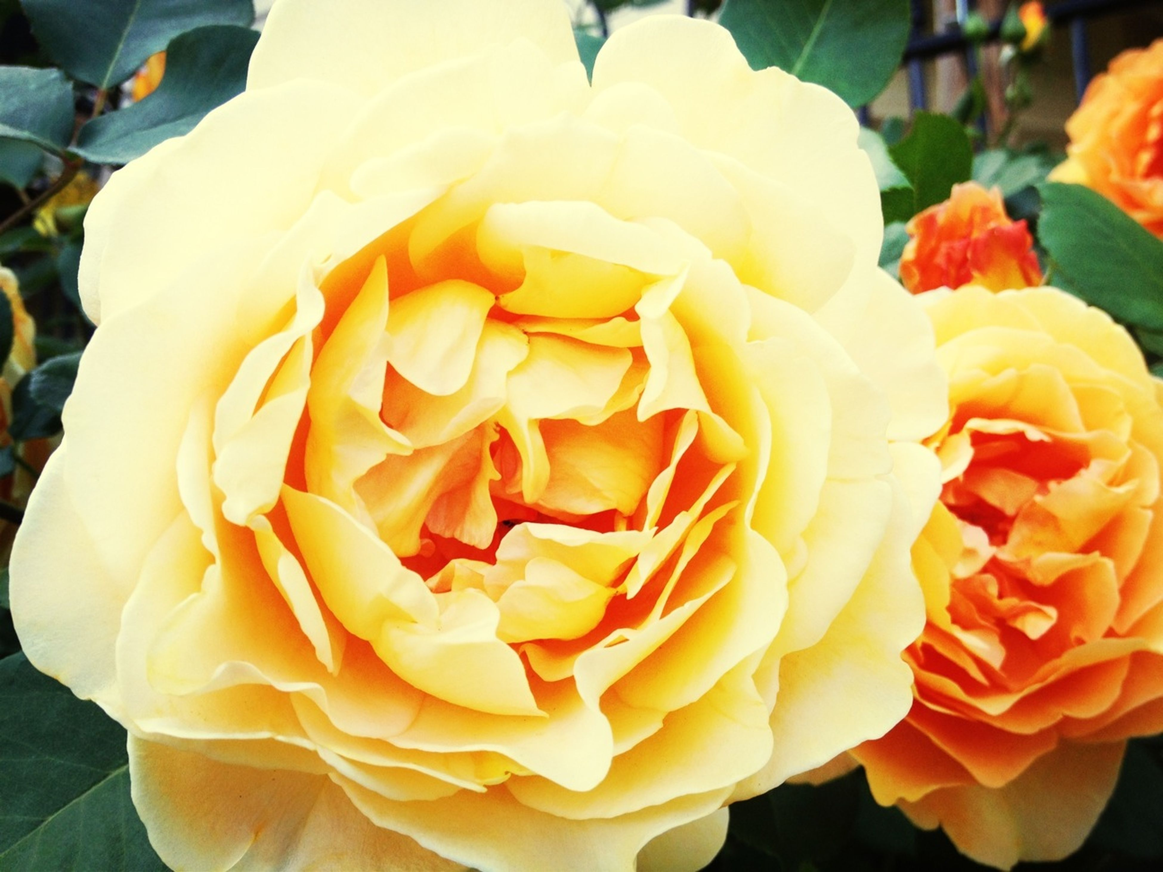 flower, petal, flower head, freshness, rose - flower, fragility, beauty in nature, close-up, blooming, growth, rose, nature, single flower, yellow, in bloom, focus on foreground, plant, single rose, orange color, no people