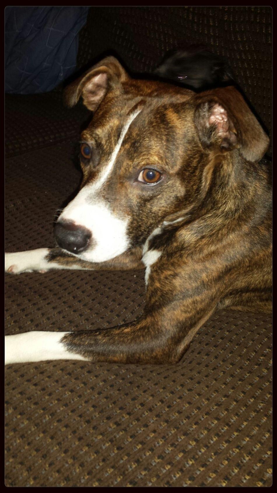 gunny the dog. boxer mix . adopt don't shop.