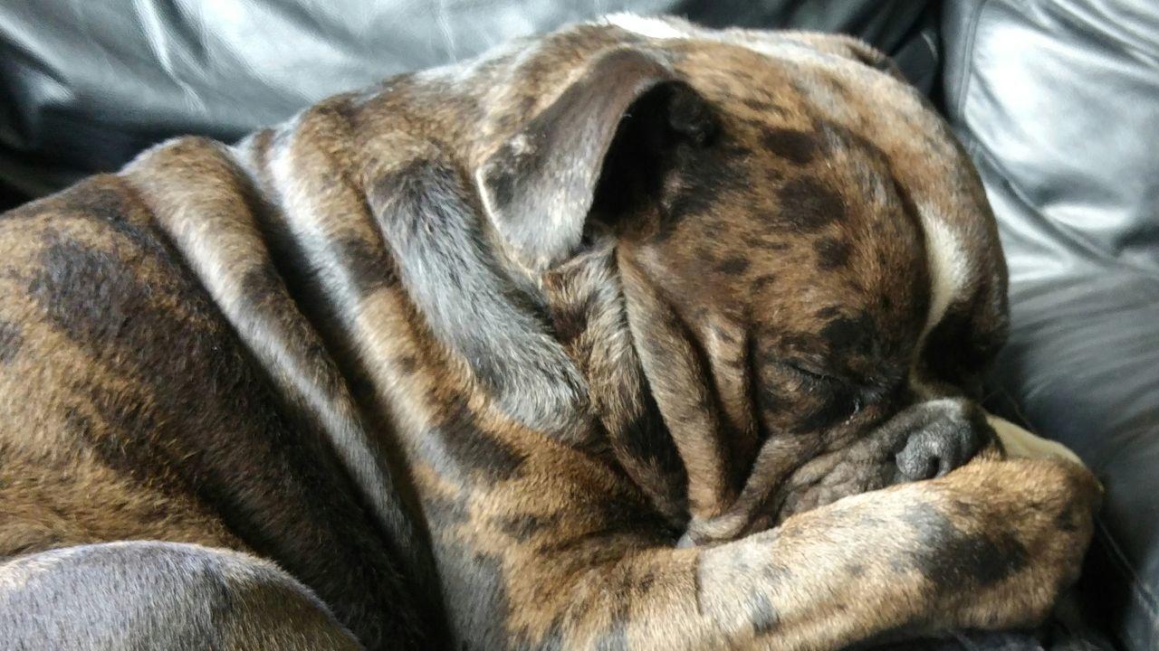 Who farted??? Fart Bulldog Smelly
