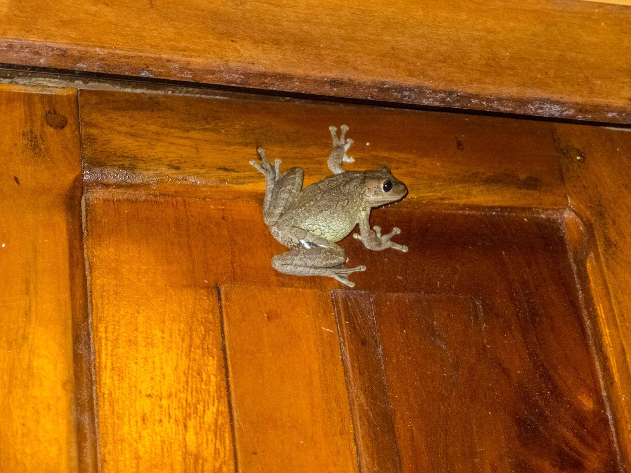 Frog on varnished wooden surface
