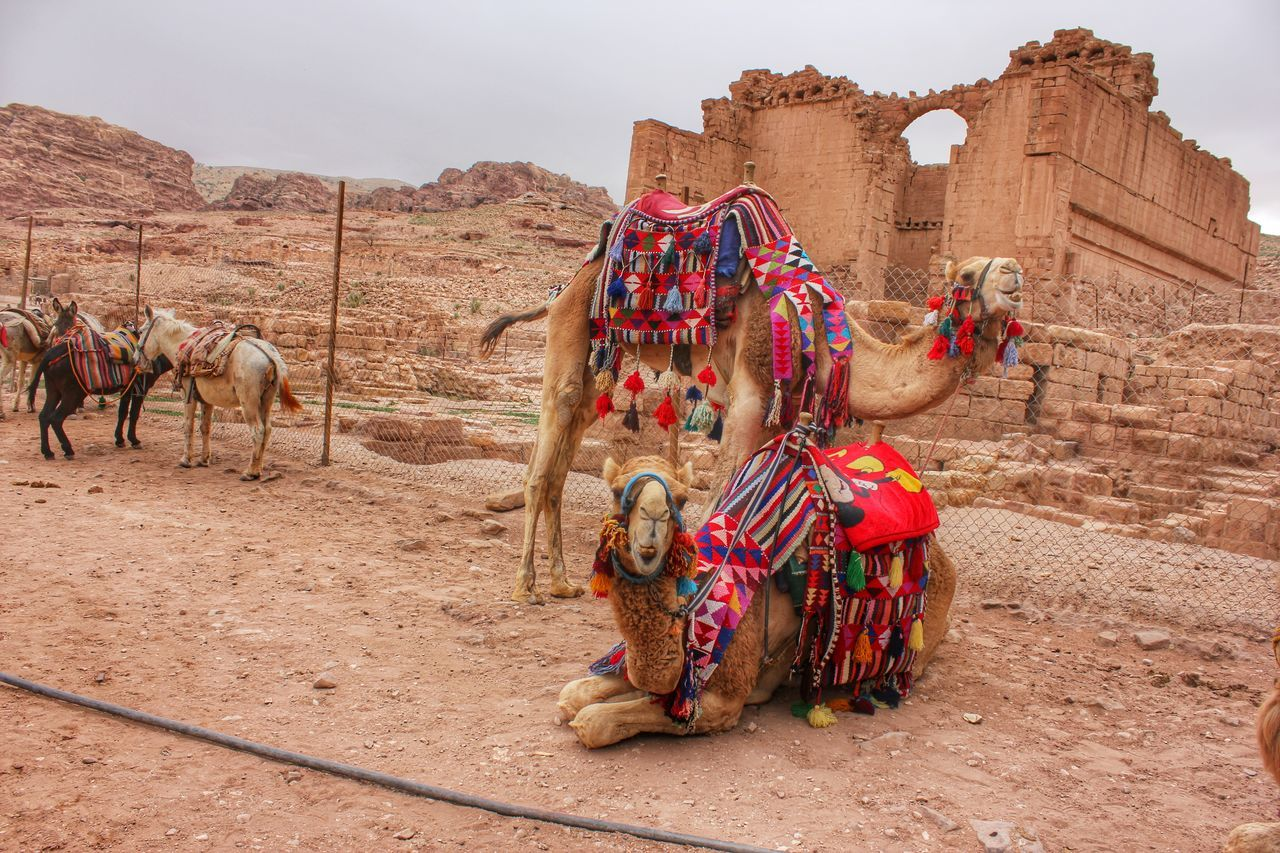 Beautiful stock photos of camel, Animal, Animal Themes, Camel, Day