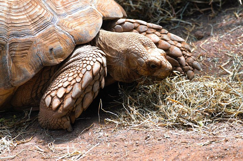 Tenerife Turtle One Animal Reptile Animal Wildlife Tortoise Shell Animals In The Wild Grass