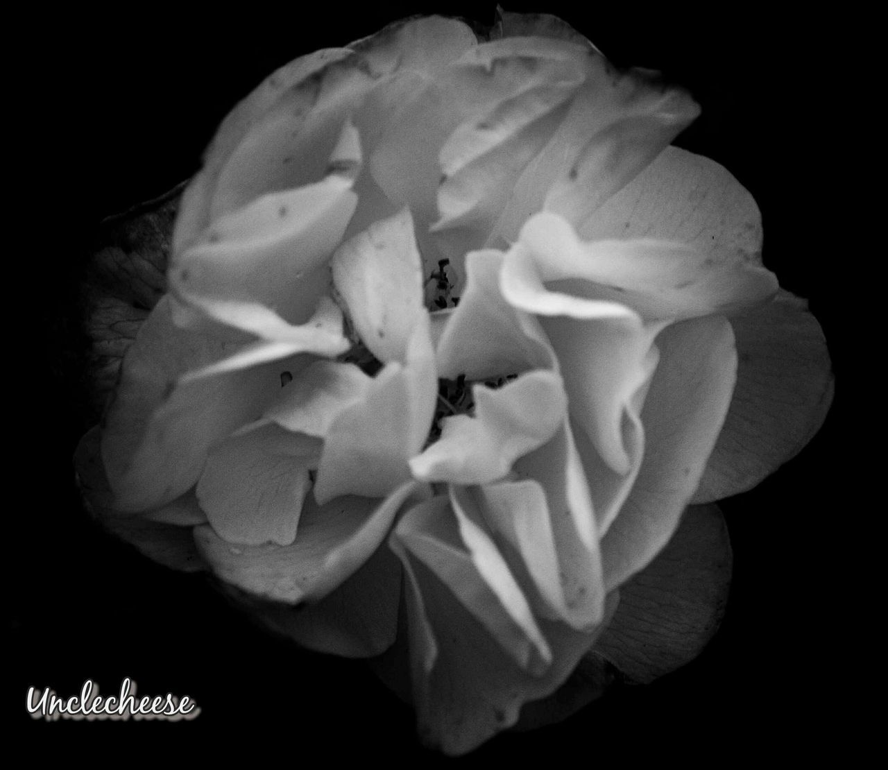 flower, petal, flower head, beauty in nature, nature, fragility, growth, freshness, black background, no people, plant, blooming, pollen, wild rose, close-up, studio shot, night, outdoors