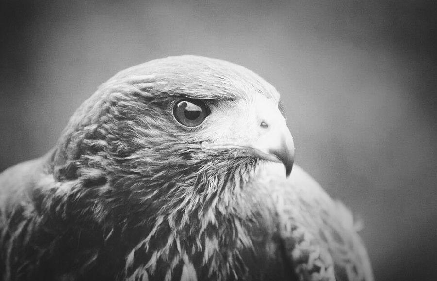 Falconry Harris Hawk  Falconer Solo
