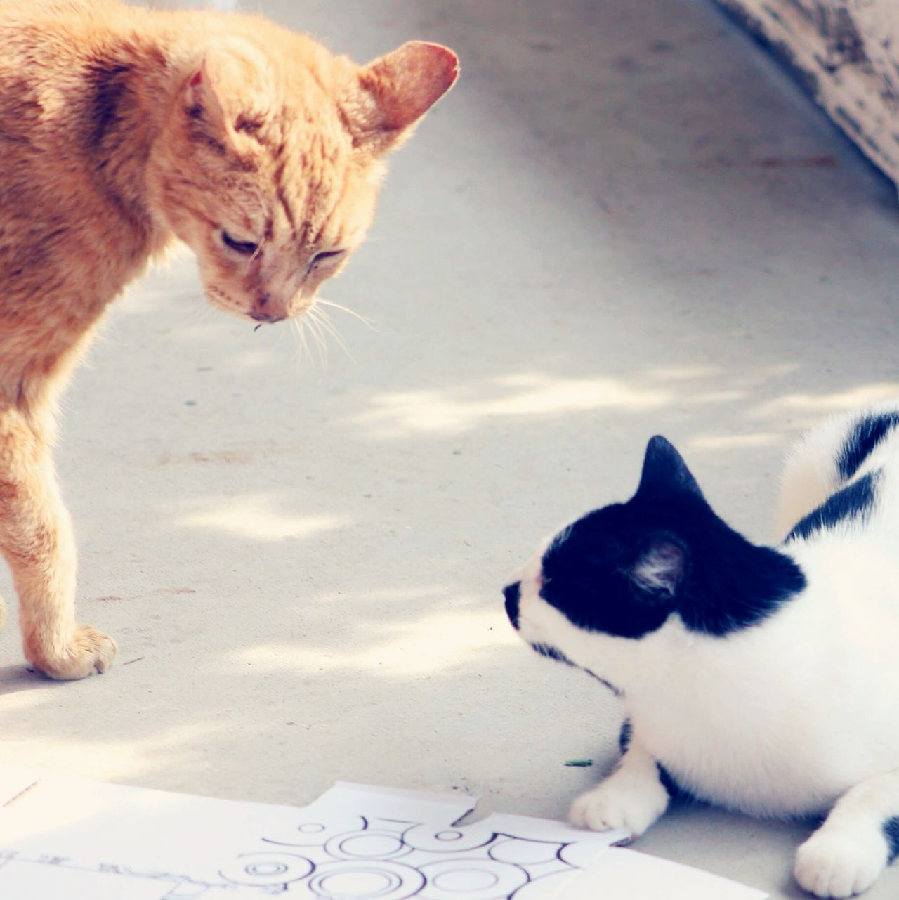 Preparing to strike: In the ring we have old red Kitty, age 19, vs the new kitty age 1. The old man seeks to put the whippersnapper in his place 😀 Showcase: December Cats Catfight Cat Faceoff Confrontation Confraternização Orange Black And White Color Photography Two Animals Sunny Porch