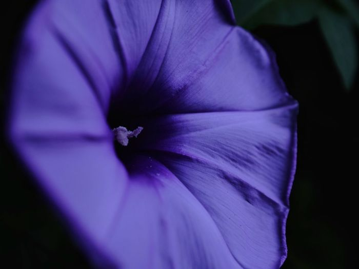 Purple Lover Flower 朝顏