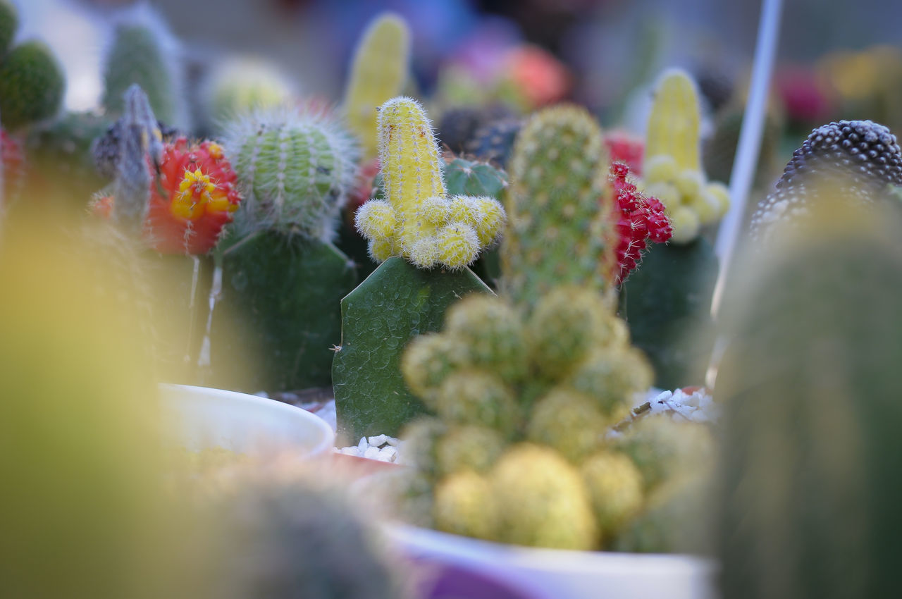 selective focus, cactus, no people, food and drink, close-up, food, day, growth, freshness, outdoors, green color, nature, prickly pear cactus, beauty in nature