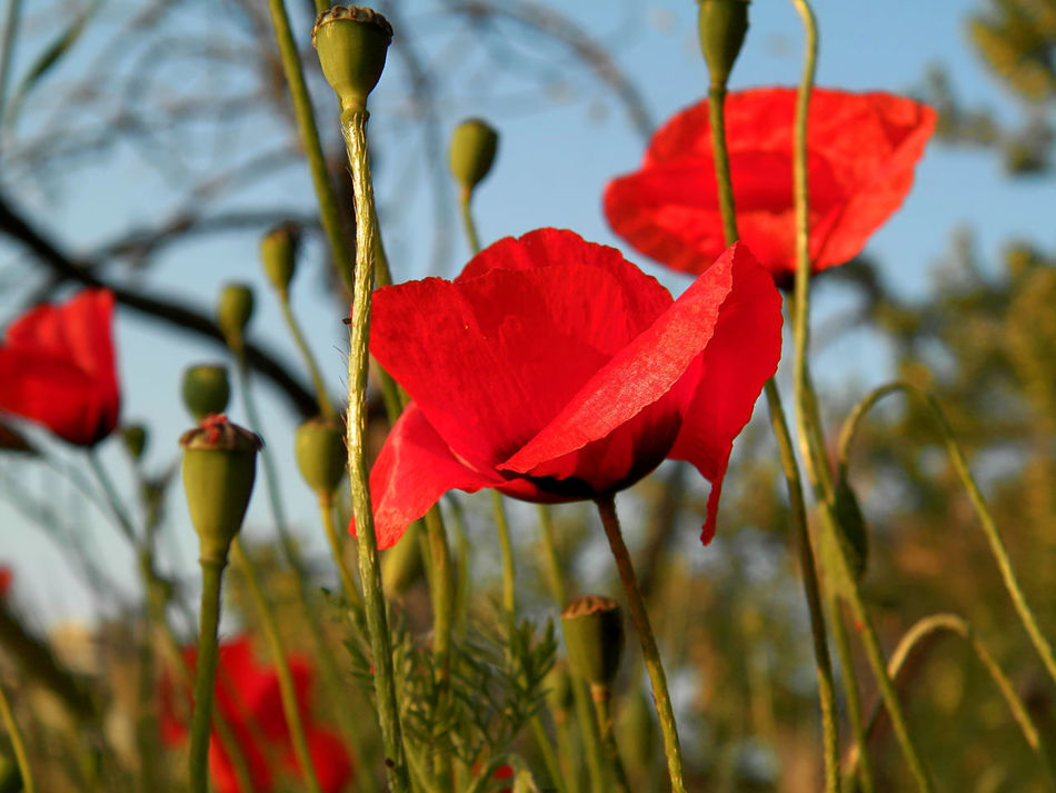 poppies Beauty In Nature Blooming Close-up Day Flower Flower Head Focus On Foreground Fragility Freshness Growth Leaf Nature No People Outdoors Petal Plant Poppy Poppy Flowers Red Sky