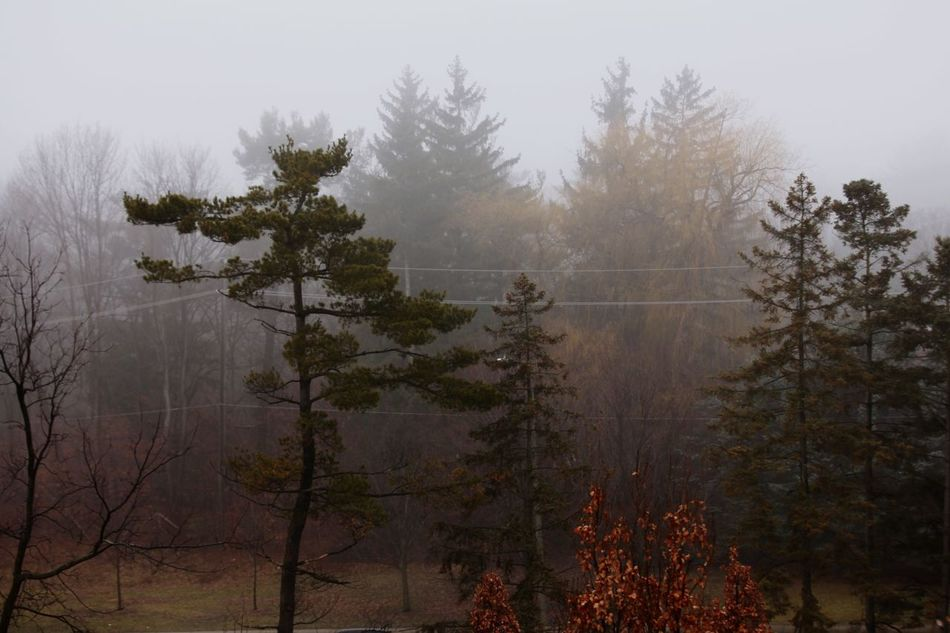 Adapted To The City Tree Fog Nature Foggy Weather Beauty In Nature Mist Tranquility Forest Tranquil Scene Idyllic Hazy  Winter No People Scenics Growth Branch Outdoors Landscape Cold Temperature (null)Open Edit Toronto Canada