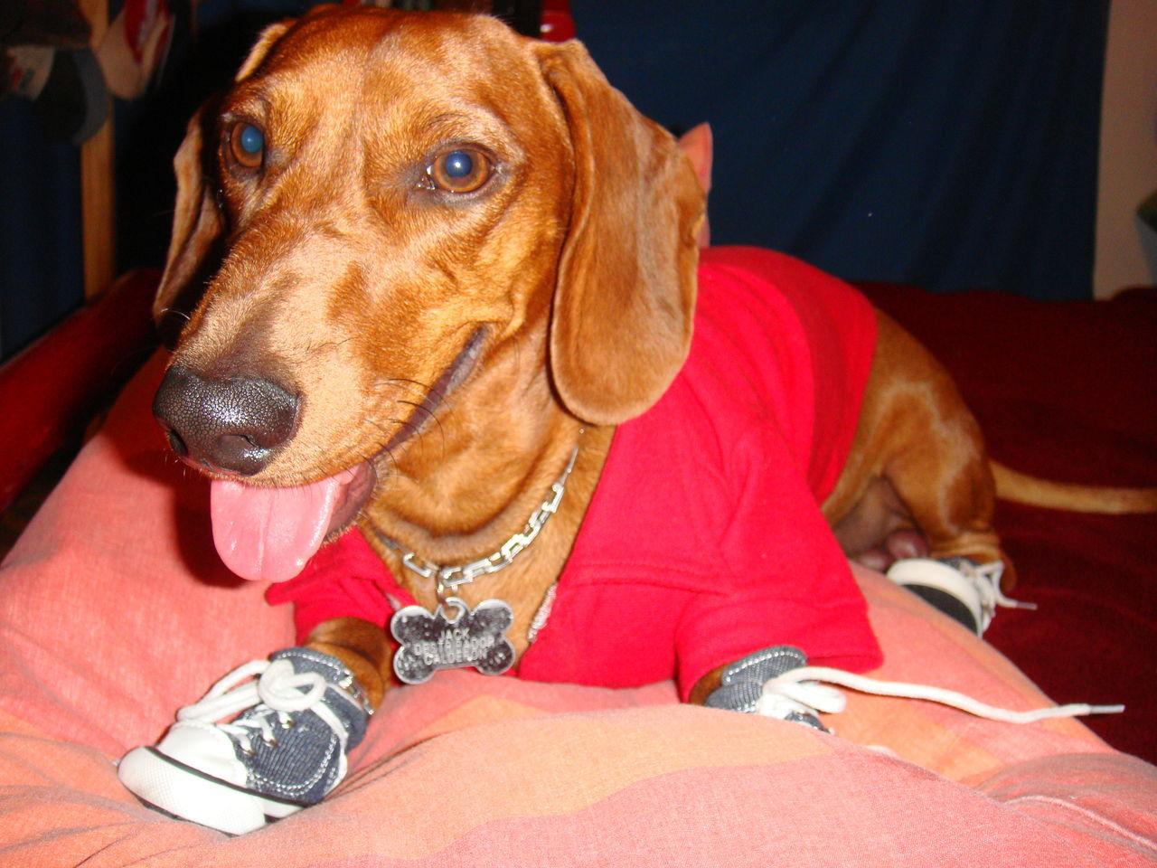 Dachshund Doxie Doxie Love Perro Salchicha Pets Teckel Wiener