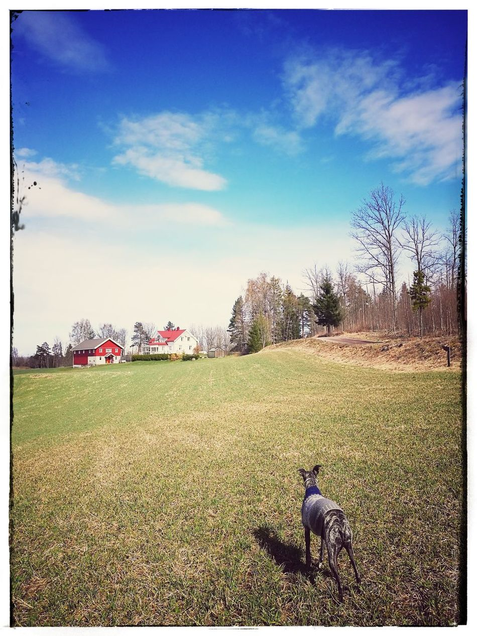 Sky Field Agriculture Outdoors Nature Whippet Dog