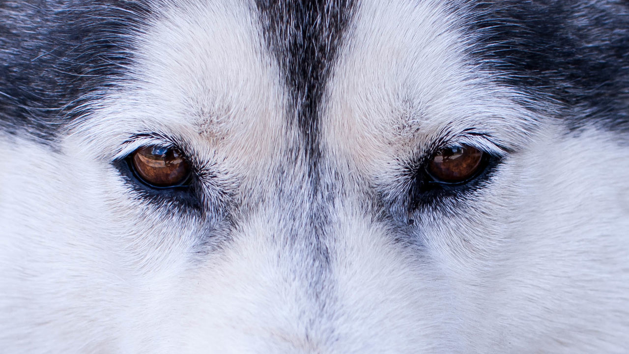 """Eyes are the window to the soul"" #2 Animal Animal Eye Animal Hair Animal Head  Animal Themes Animals Budapest Close-up Dog Dogs Eye Husky Huskyphotography Pets Ikonik"