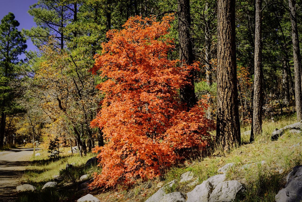 Another gorgeous red oak from 4th of July Canyon in New Mexico Red Oak Leaves Autumn Colors Fall Beauty Autumn Color