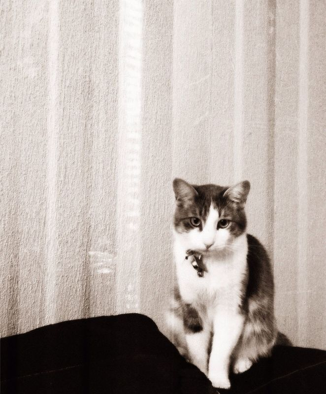 AMPt - Shoot or Die cat blackandwhite portrait PixlrExpress by Claudia Contreras