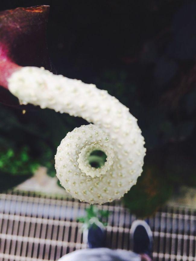 東京の友達と茨城で遊んだ時。たぶんアンスのアレ。 筑波実験植物園 アンスリウム うねり