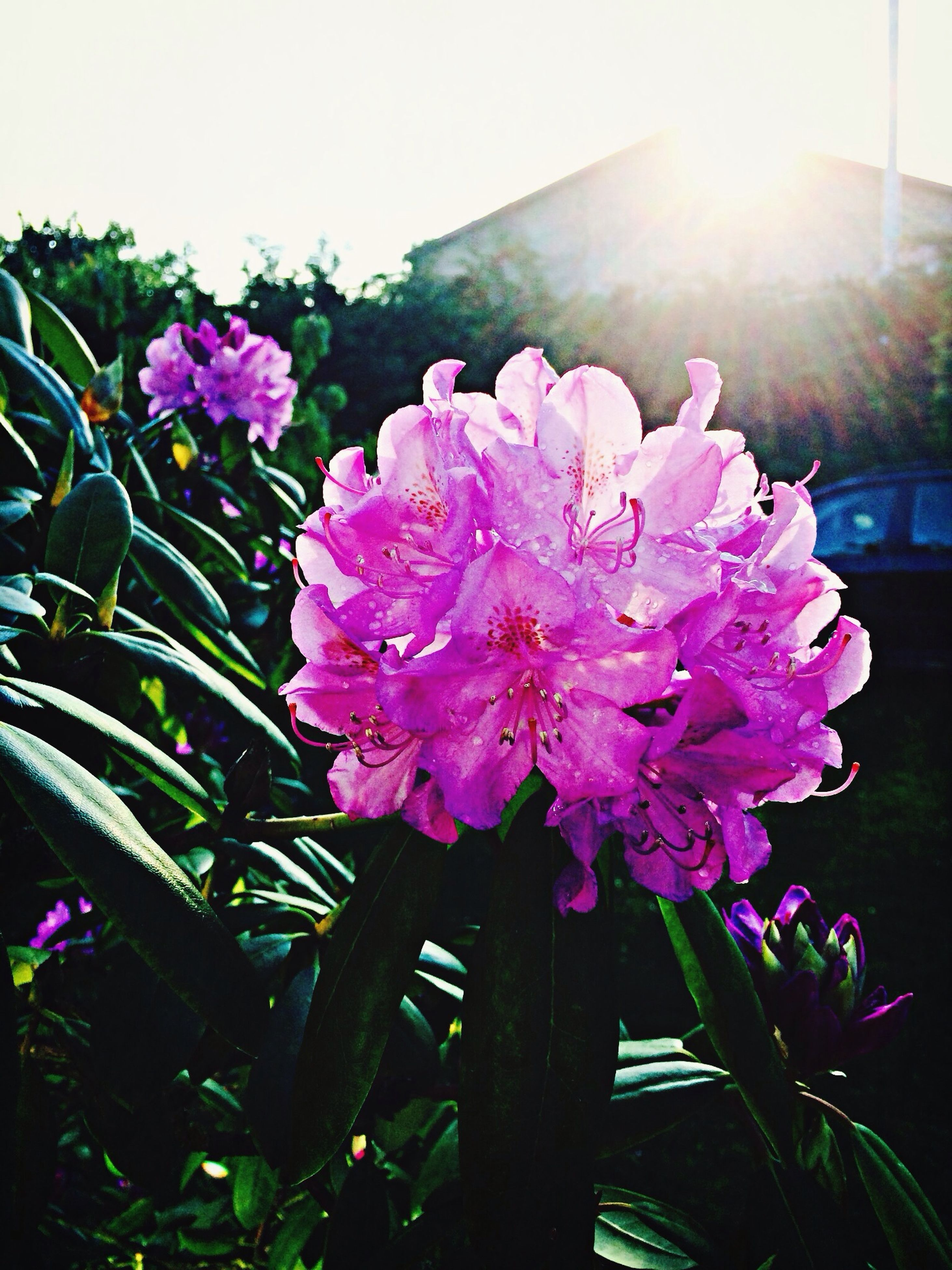 flower, freshness, fragility, petal, growth, flower head, beauty in nature, pink color, blooming, plant, nature, sunlight, close-up, sunbeam, in bloom, leaf, sun, day, outdoors, focus on foreground