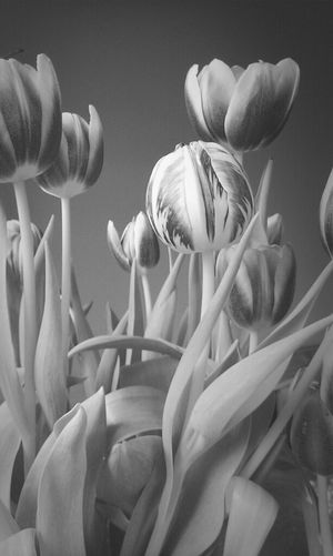 Blumen Tulpen