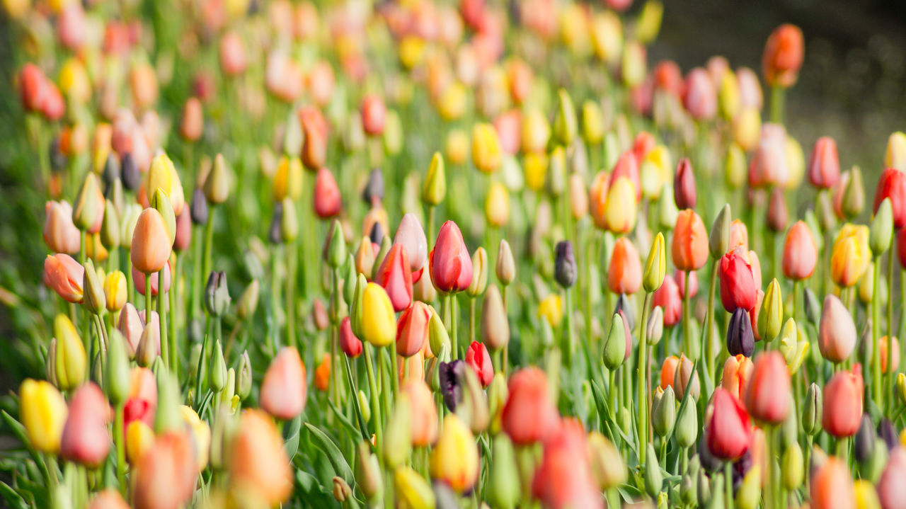 Beautiful stock photos of tulip, Beauty In Nature, Beginnings, Bud, Close-Up