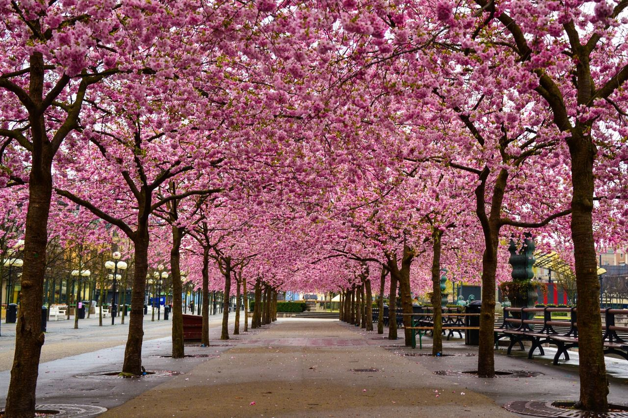Beautiful stock photos of spring, Beauty In Nature, Blooming, Cherry Blossom, Cherry Tree