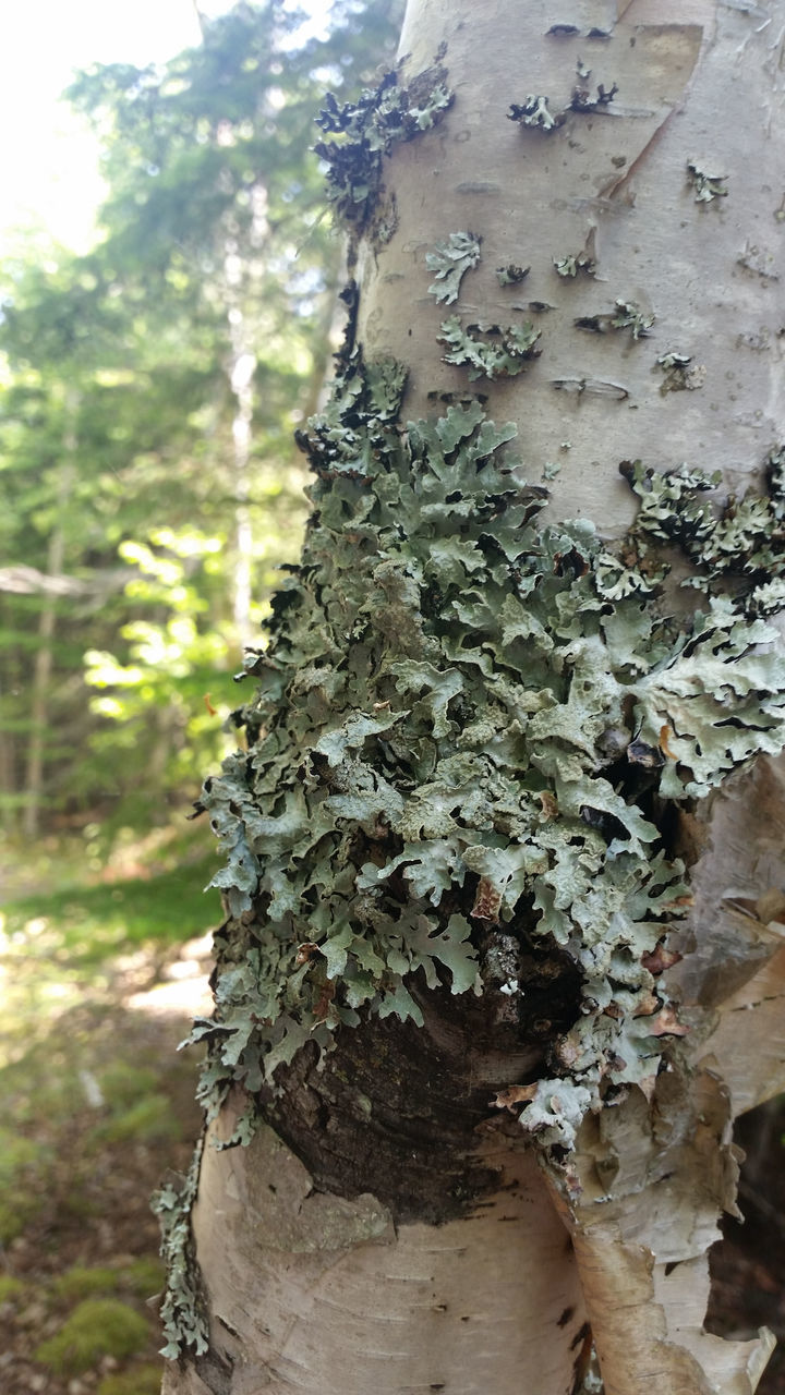 growth, tree, day, nature, tree trunk, close-up, outdoors, no people, lichen, plant, focus on foreground, fungus, fragility, beauty in nature