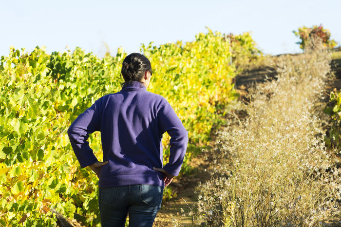 vineyards in autumn with the last bunches of grapes, wine grower woman working , Bierzo , Spain Alcohol Autumn Autumn Colors Autumn Leafs Autumn Light Beverage Drink Fruit Gourmet Grape Vineyard Viticulture Wine Winemaking Winery