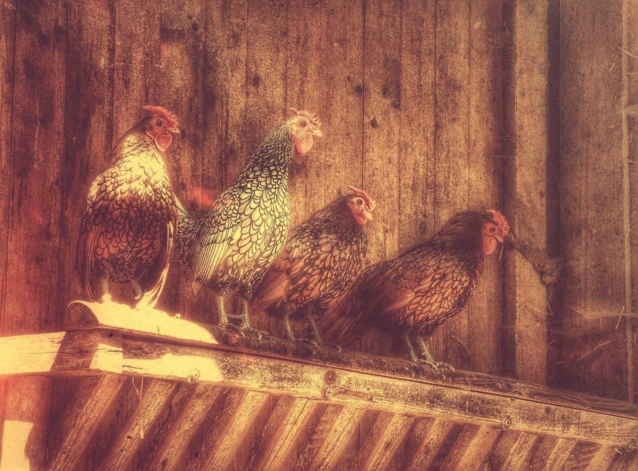 chicken - bird, livestock, domestic animals, bird, hen, animal themes, poultry, farm, rooster, agriculture, wood - material, no people, outdoors, nature, young bird, cockerel, large group of animals, barn, day, close-up, mammal